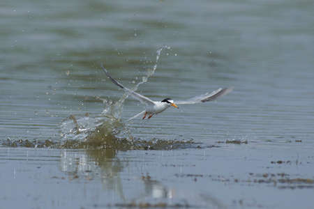 Little tern in its natural habitat in Denmark Banque d'images - 113599273