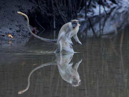 Vervet monkey in its natural habitat in Gambia