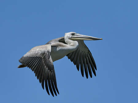 Pink-backed pelican in its natural habitat in The Gambia