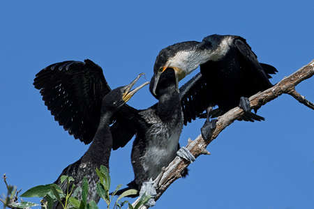 White-breasted cormorant in its natural habitat feeding its young Stock Photo