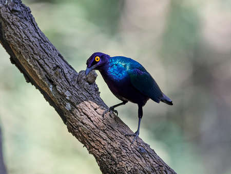 Purple glossy starling in its natural habitat in Gambia