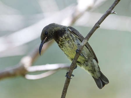 Beautiful sunbird in its natural habitat in Gambia