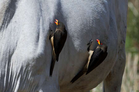 Yellow-billed oxpecker in its natural habitat in Gambia Stock Photo