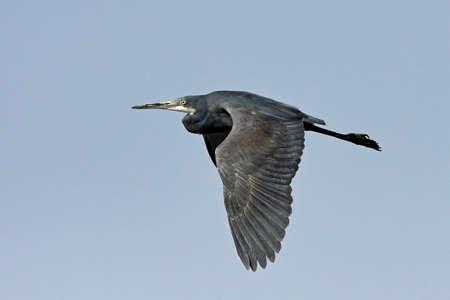 Western reef heron in flight with blue skies in the background
