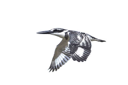 Pied kingfisher in flight isolated on a white background Stock Photo