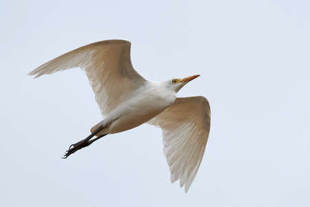 Cattle egret in flight isolated on a white background