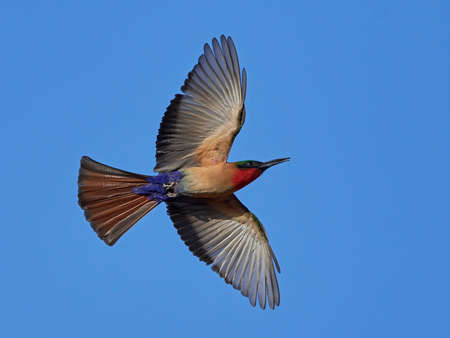 Red-throated bee-eater in flight with blue skies in the background Stock Photo