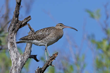 Whimbrel in its natural habitat in Gambia