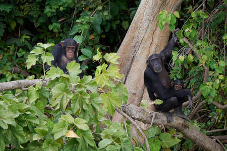 Chimpanzee in its natural habitat on Baboon Islands in The Gambia Stock Photo