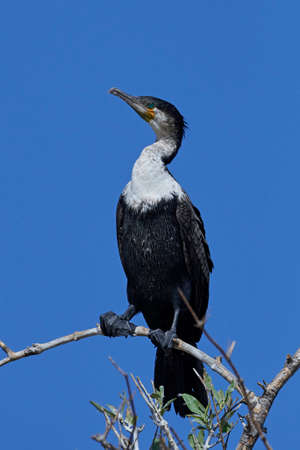 White-breasted cormorant in its natural habitat in Gambia