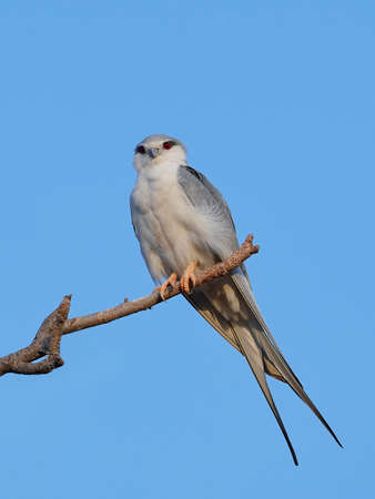 African swallow-tailed kite in its natural habitat in Senegal