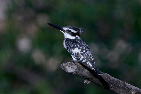 Pied kingfisher resting on a branch in its habitat in Gambia