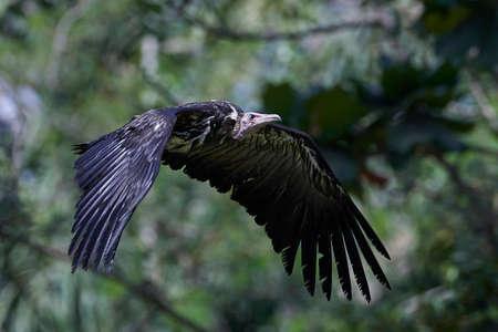 Hooded vulture in flight in its habitat in The Gambia Foto de archivo