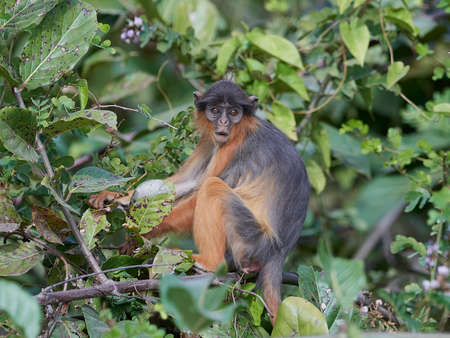 Western red colobus in its natural habitat in The Gambia