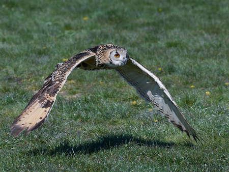 Eurasian eagle-owl in flight with vegetation Banque d'images