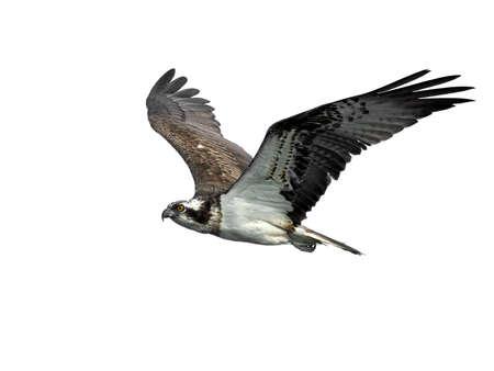 Águila pescadora en vuelo en su hábitat natural Foto de archivo