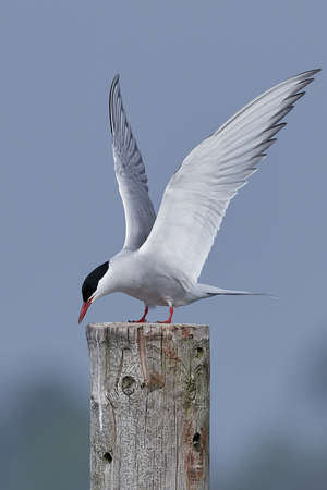 Arctic tern in its natural habitat in Denmark Banque d'images - 121683967