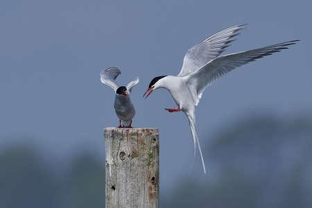 Arctic tern in its natural habitat in Denmark Stock Photo