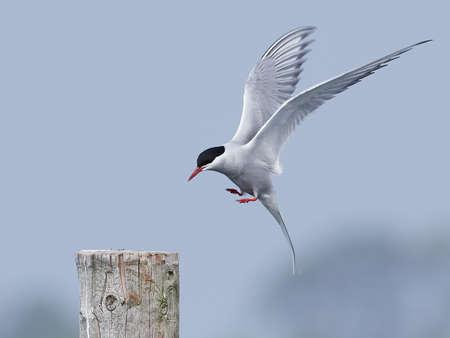 Arctic tern in its natural habitat in Denmark