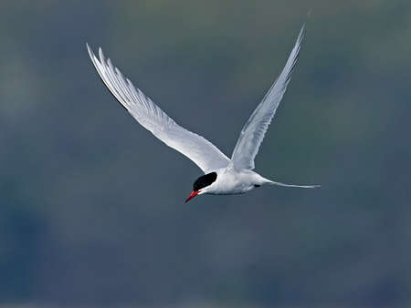 Arctic tern in its natural habitat in Denmark Banque d'images - 121683977