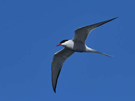 Arctic tern in its natural habitat in Denmark Banque d'images - 121683979