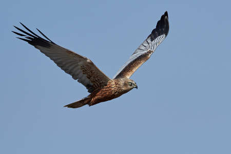 Western marsh harrier in flight with blue skies