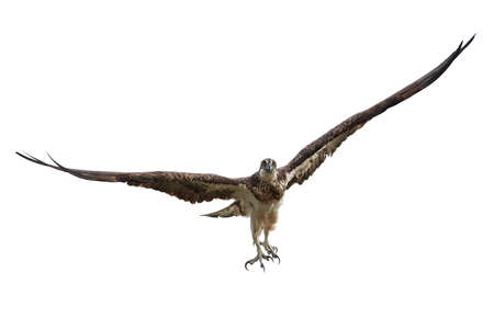 Osprey in its natural habitat in Senegal Stock Photo