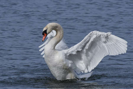 Mute swan landing on water in its natural habitat in Denmark