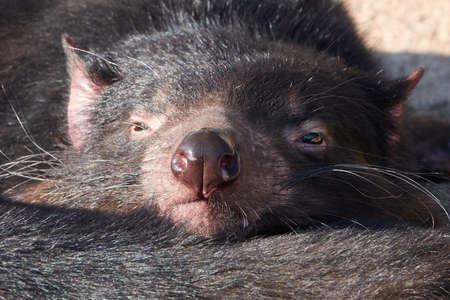 Closeup portrait of the tasmanian devil  in sunshine 版權商用圖片