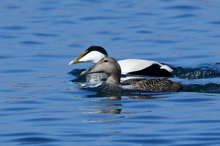 Common eider in its natural habitat in Denmark
