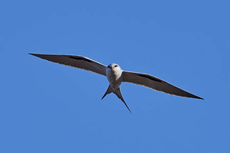 African swallow-tailed kite in flight with blue skies