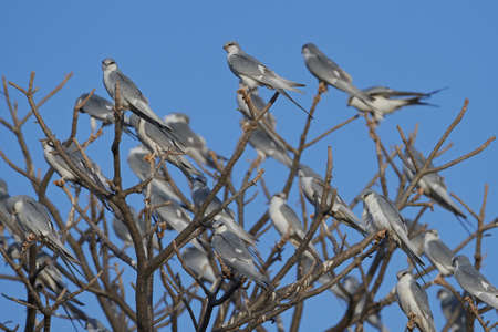 African swallow-tailed kites in their natural habitat in Senegal Banco de Imagens