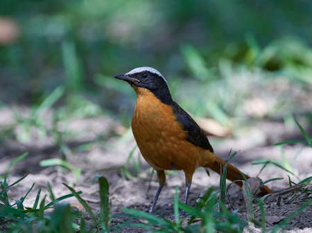 White-crowned robin-chat in its natural habitat in Gambia Фото со стока
