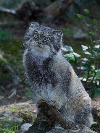 Pallas cat in its habitat with vegetation in the