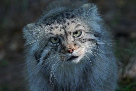 Gato de Pallas en su hábitat con vegetación