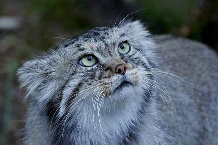 Gato de Pallas en su hábitat con vegetación en el