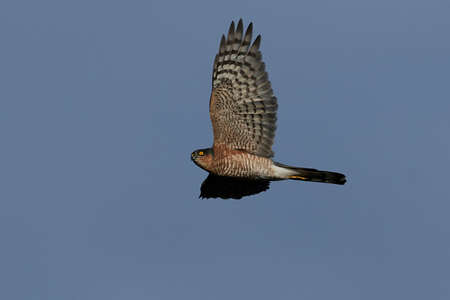 Eurasian sparrowhawk in flight with blue skies