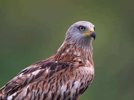 Closeup portrait of the Red kite with vegetation