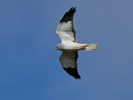 Hen harrier in flight with blue skies