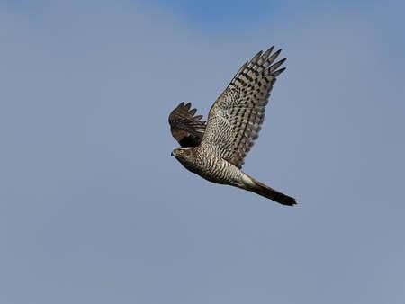 Eurasian sparrowhawk in flight with blue skies