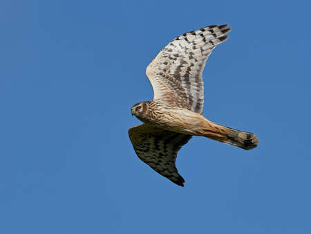 Hen harrier in flight with blue skies in the background 写真素材
