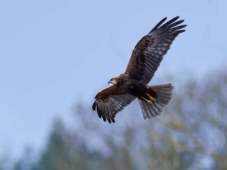 Western marsh harrier in flight in its natural habitat