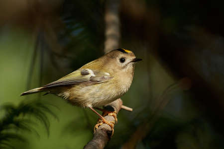 Goldcrest in its natural habitat in Denmark