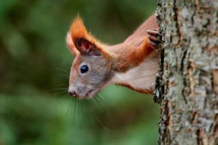Eurasian red squirrel in its natural habitat in Denmark
