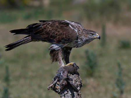 Bonellis eagle sitting on a tree trunk with prey