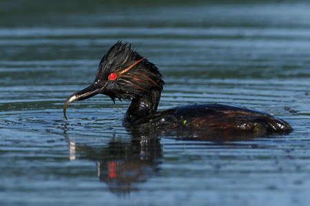 Black-necked grebe in its natural habitat in Denmark 写真素材