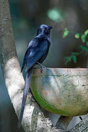 Piapiac in its habitat in The Gambia