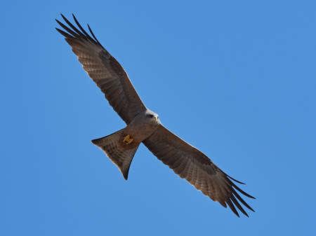Yellow-billed kite in flight with blue skies 写真素材