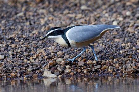 Egyptian plover in its natural habitat in Senegal 写真素材