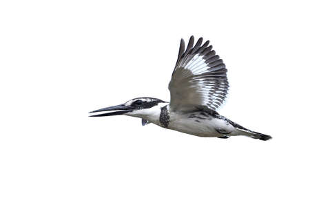 Pied kingfisher in flight with blue skies in the background 写真素材